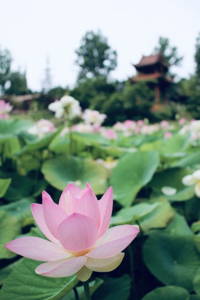 Lotusbloemen in het boeddhisme